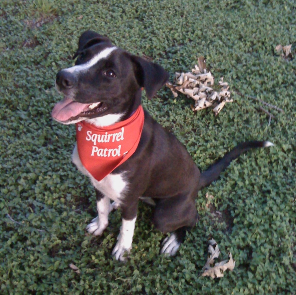"image of a dog sitting in clover. a red bandanna tied around its neck reads ""squirrel patrol"""
